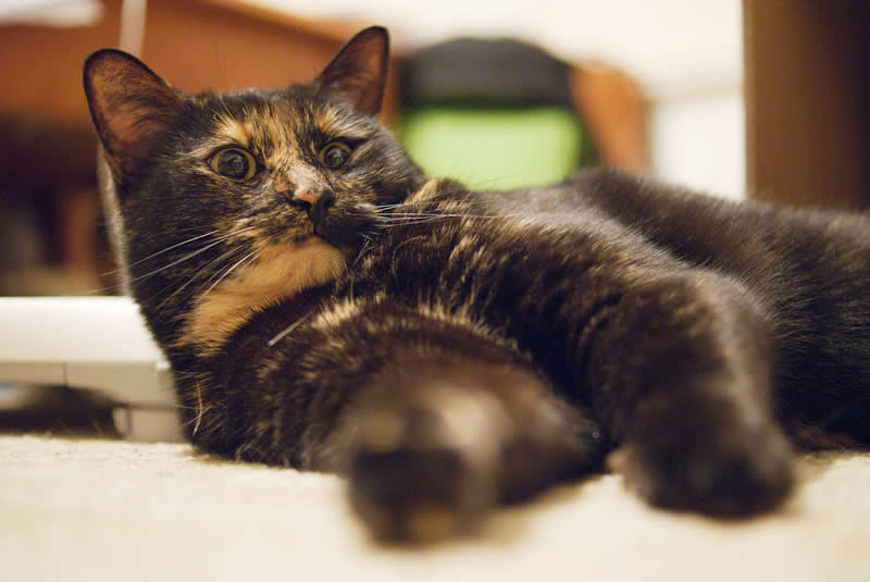 Australian shorthair tortoiseshell domestic cat | Australian National Cat Magazine - Ozzi Cat