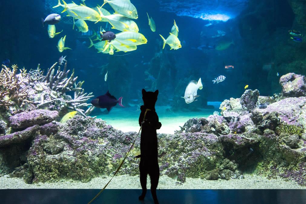 Black Cat Ninja (Cafe Purrfection) enjoy SEA LIFE Sydney Aquarium - Cat Aquarium, Kitty Snorkel Experience