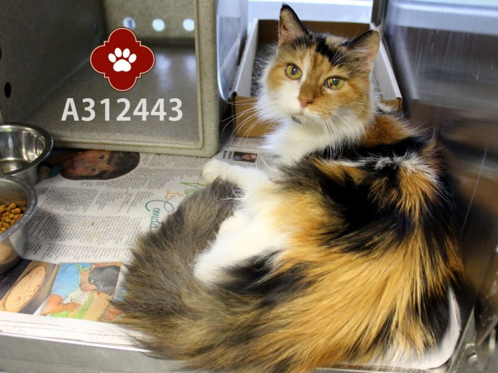 Blanche - senior calico cat - surrendered to shelter and then adopted