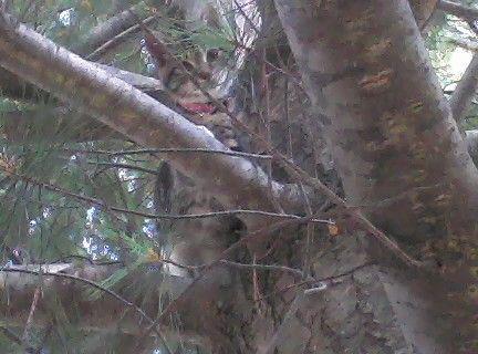 Cat Dutchess - house fire survivor - before fire - cat in a tree