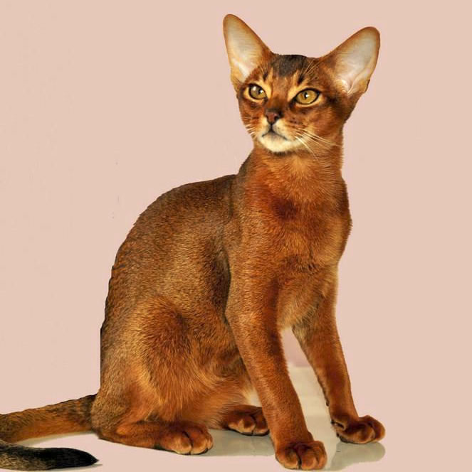 Cat Show - Sydney - Australia - Abyssinian Cat Club of Australasia