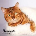 Cat calendar 2015 - Bengals Calendar