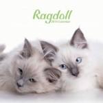 Cat-calendar-2015-Rag-Dolls-Calendar