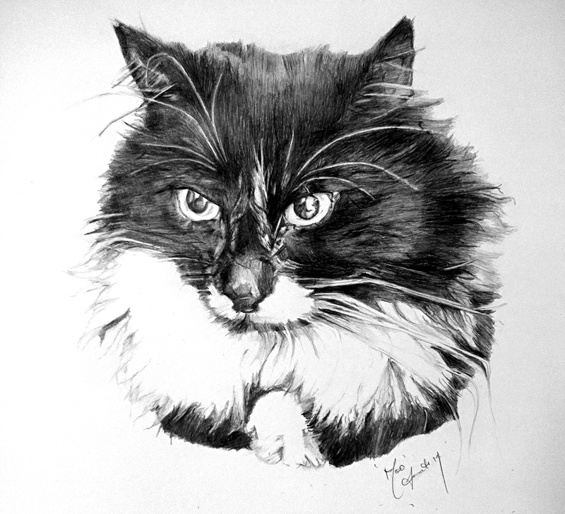 Cat Portrait Drawing by Australian Cat Artist Danielle Fossati (Paw Prints) - Cat Lover's Pick - Featured in Australian National Cat Magazine Ozzi Cat