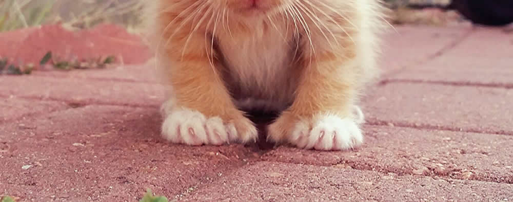 Cheeto - Tiny Polydactyl Ginger Kitten with Extra Toes