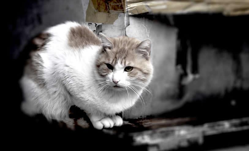 China - Shanghai cat - world cats