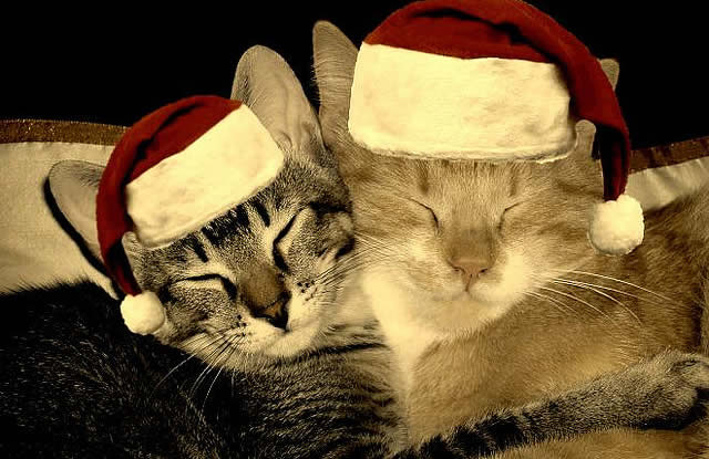Cats in Christmas hats | Australian National Cat Magazine - Ozzi Cat