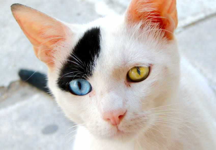Cute cat with odd eyes - blue eye and yellow green eye