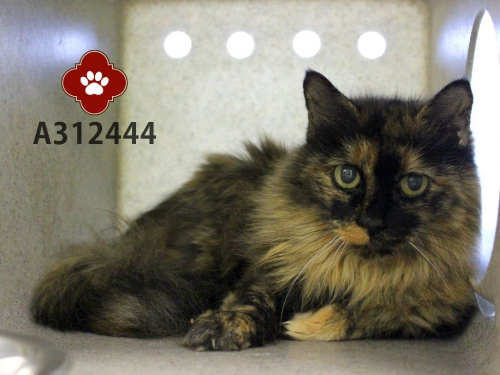 Dorothy - blind 20 yo senior tortoiseshell cat - surrendered to shelter and then adopted