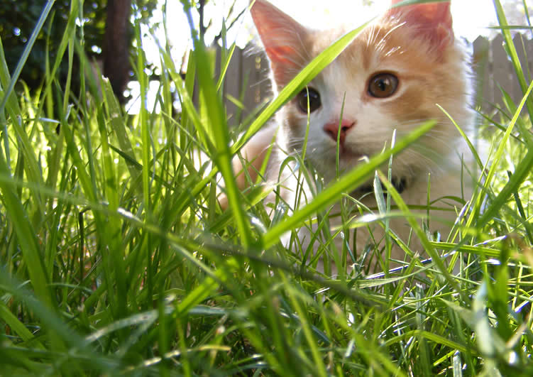 Kitten in the grass | Australian National Cat Magazine - Ozzi Cat