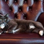 Oreo - stolen Armstrong hotel's cat