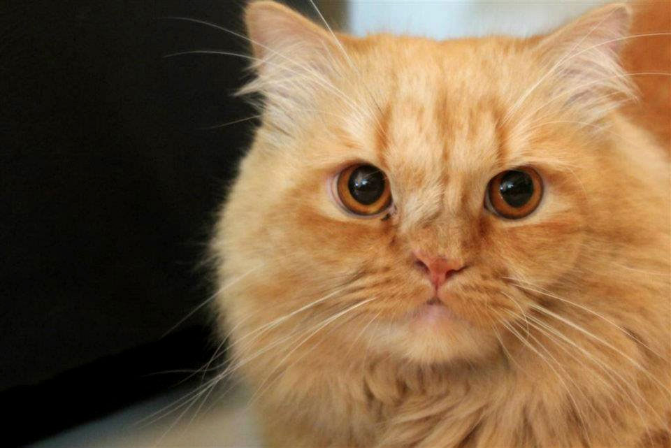 Photograph of Ginger Cat - picture of orange cat