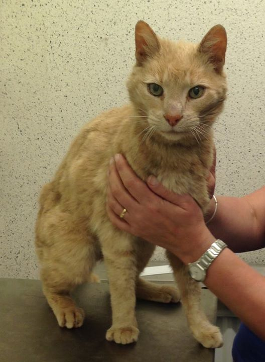 Ozzie - Australian senior ginger cat - Cats Protection - Sydney - Ireland
