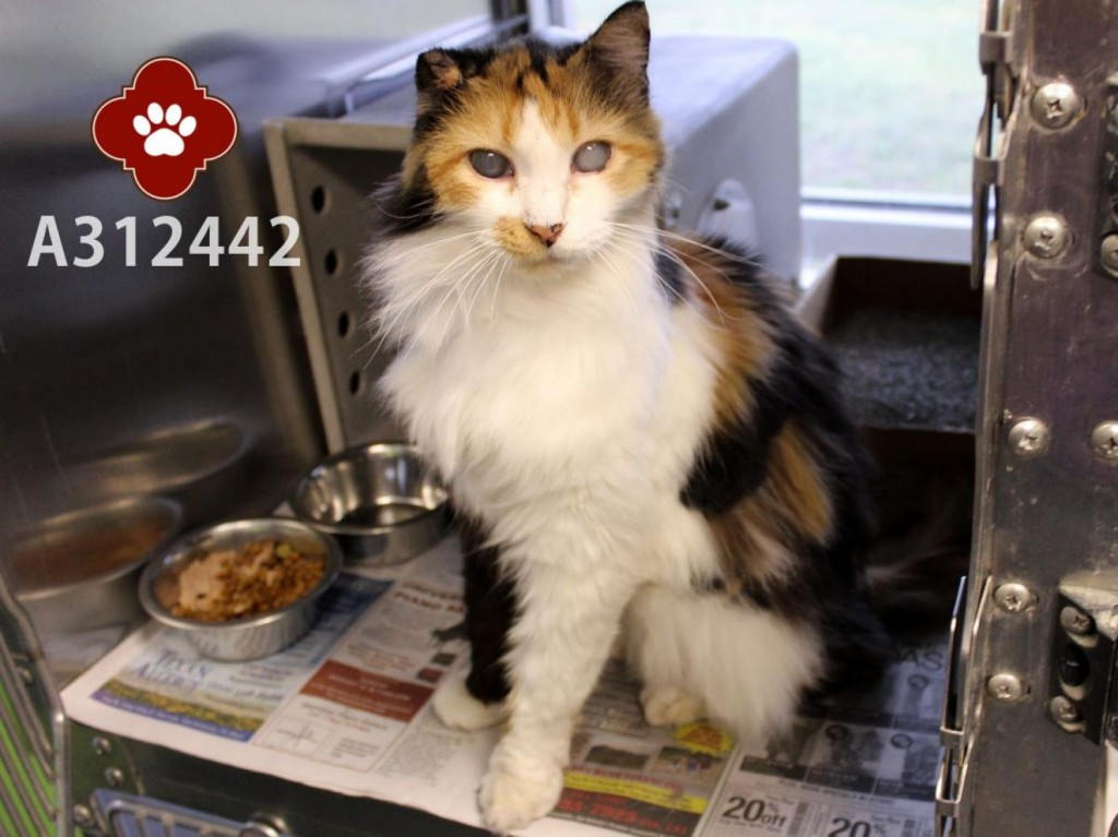 Rose - blind 25 yo senior calico cat - surrendered to shelter and then adopted