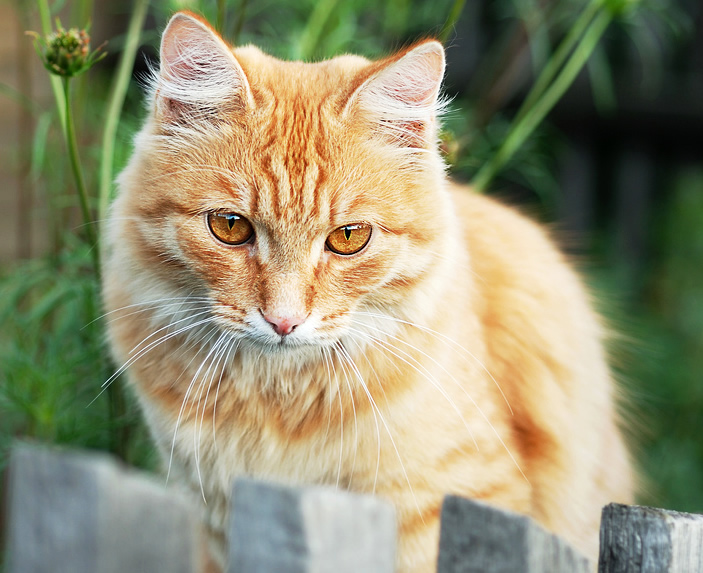 Sad ginger cat with yellow eyes is sitting on a fence