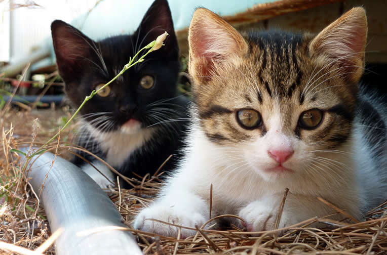Adorable kittens couple  | Australian National Cat Magazine - Ozzi Cat
