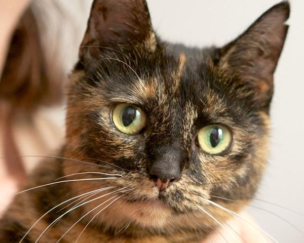 Cleo - Animal Rehoming Tablelands - cat rescue - adopt - buy - cat - kitten