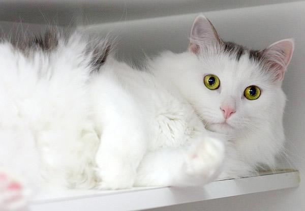 Laykin - Save-A-Dog Scheme - cat rescue - adopt - buy - cat - kitten