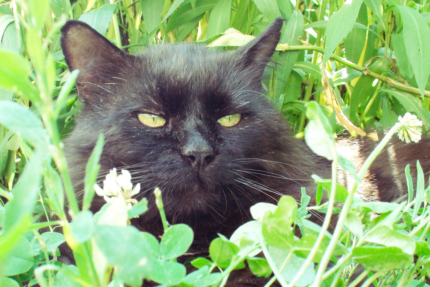 Black cat lays down - green grass leaves - furry - hides