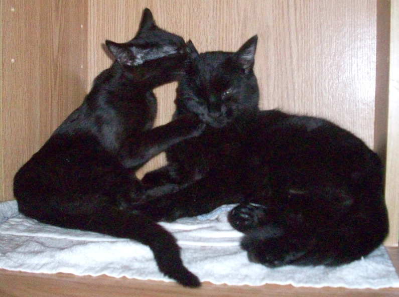 Black kitten grooming and cleaning black cat