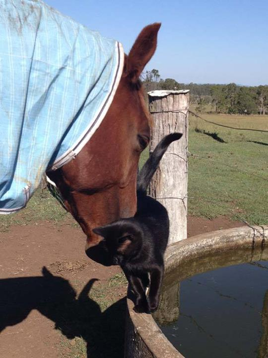 Black rescue cat Morris and horse Champy - Unusual Pet Friendship - Cat Lover's Pick - Featured in Australian National Cat Magazine Ozzi Cat | Where Cats Are Family - Keep Hearts Purring