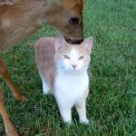 Adorable Friendship Between Ginger Cat And Rescued Baby Deer (Video)