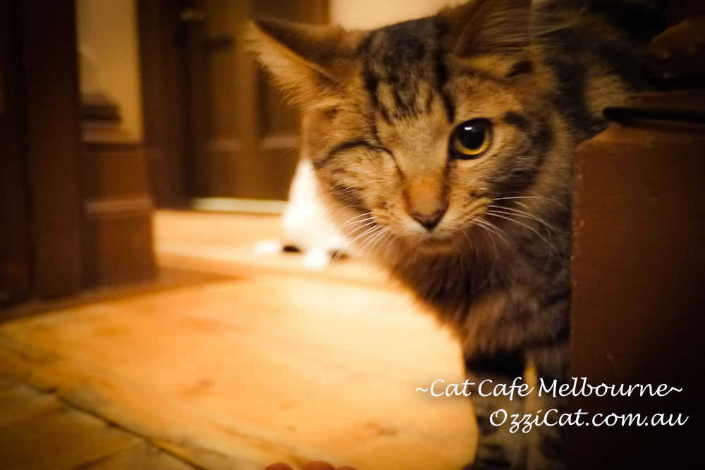 Cat Cafe Melbourne - cat lovers place to visit in Melbourne Australia
