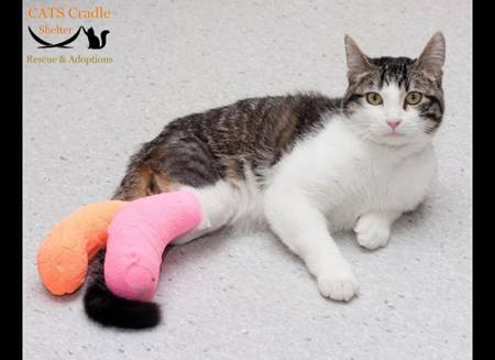 Cat Corky with Twisted Legs - Cradle Cat - After Surgery | Australian National Cat Magazine - Ozzi Cat