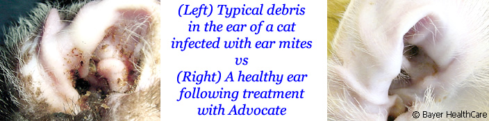 Cat's ear infected with ear mites, with dark brown wax VS Clean ear treated with Advocate