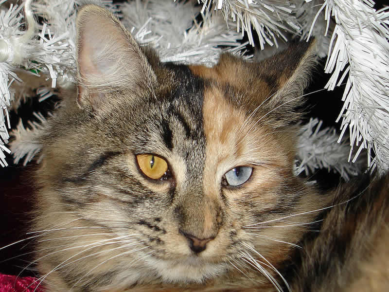 Beautiful cat face with odd yellow and blue eyes - Cat Lover's Pick - Featured in Australian National Cat Magazine Ozzi Cat