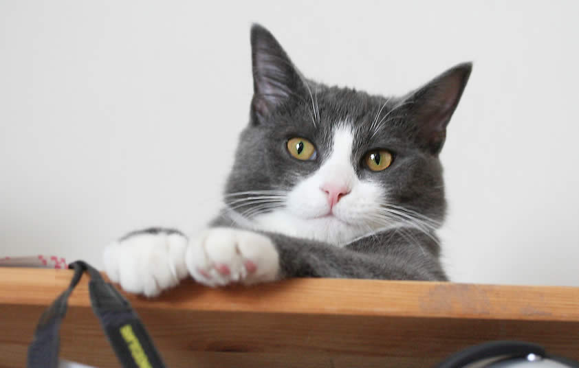 Cat Linus laying down on a shelf | Ozzi Cat - Australian National Cat Magazine