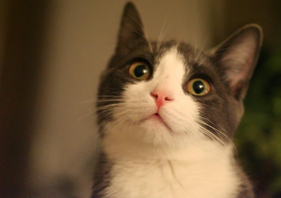 Cat Ada: Curiously looking at something   Ozzi Cat - Australian National Cat Magazine