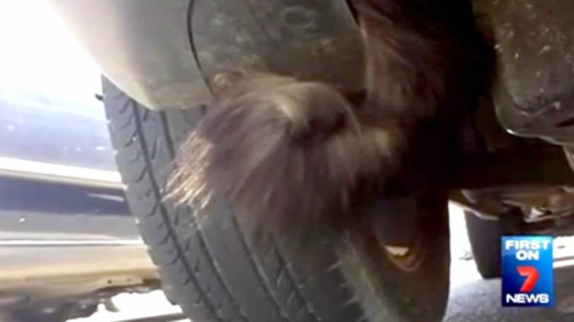 Cat Ooscar - stuck in car bonnet - travels in South Australia - Port Adelaide - Brahma Lodge