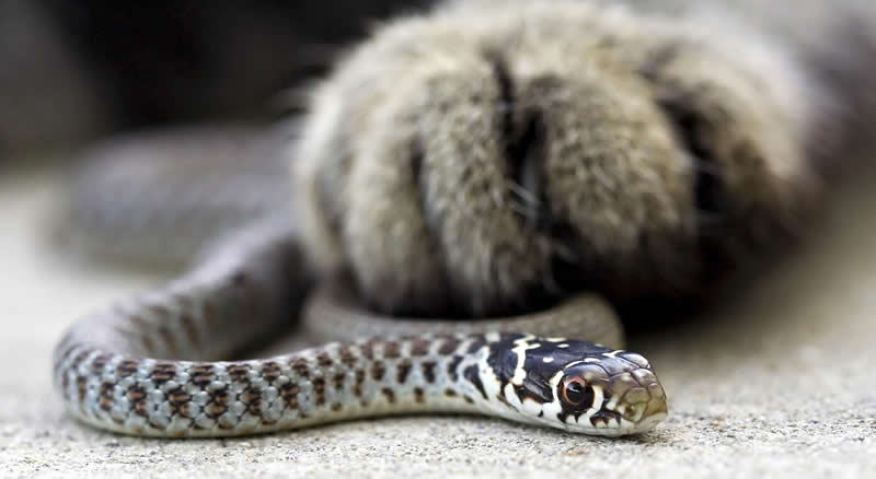 Cat paw with grass snake