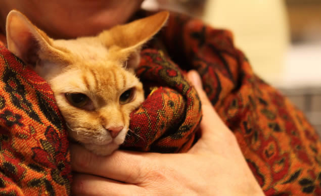 Cat Show: Orange Cat | Ozzi Cat - Australian National Cat Magazine