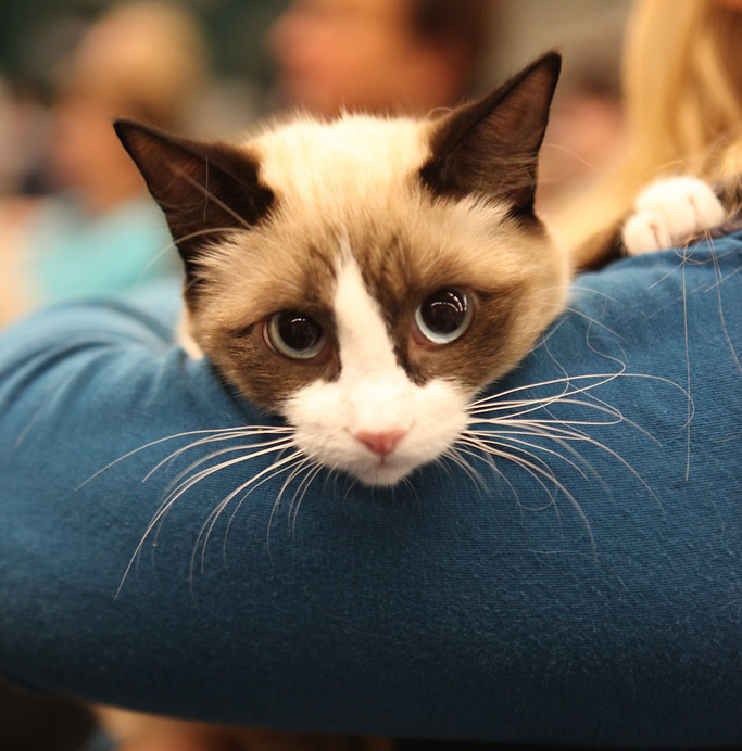 Cat show ragdoll blue eyes | Ozzi Cat - Australian National Cat Magazine
