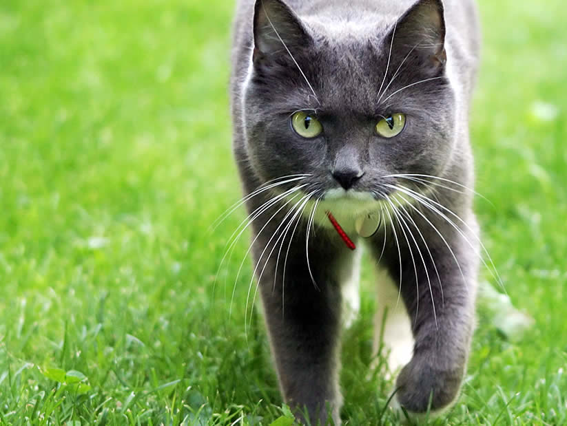 Cat Miki is wandering in a garden in a cat collar | Australian National Cat Magazine - Ozzi Cat