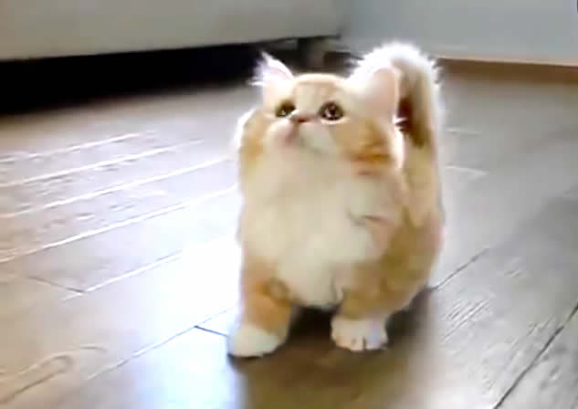 Cute cat - orange ginger - playing and confused - viral short video