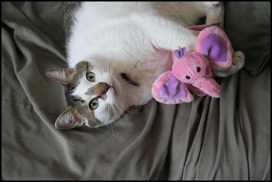 "Cute cat with pink elephant toy - Cat Lover's Pick - Featured in Australian National Cat Magazine ""Ozzi Cat"""