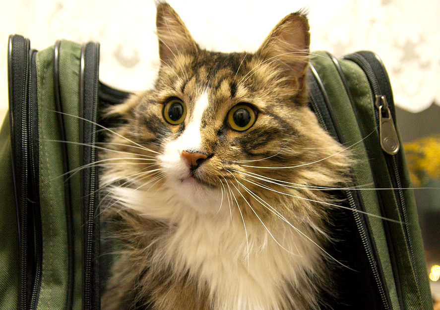 Cute long haired cat in a backpack