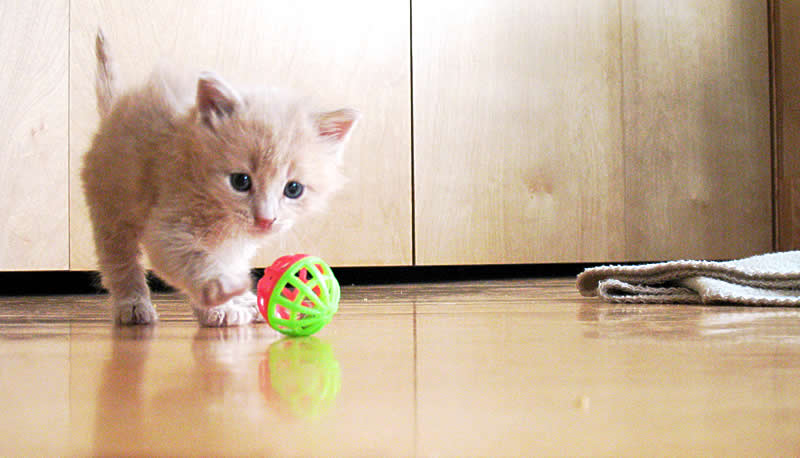 Foster kitten playing with a toy ball | Australian National Cat Magazine - Ozzi Cat