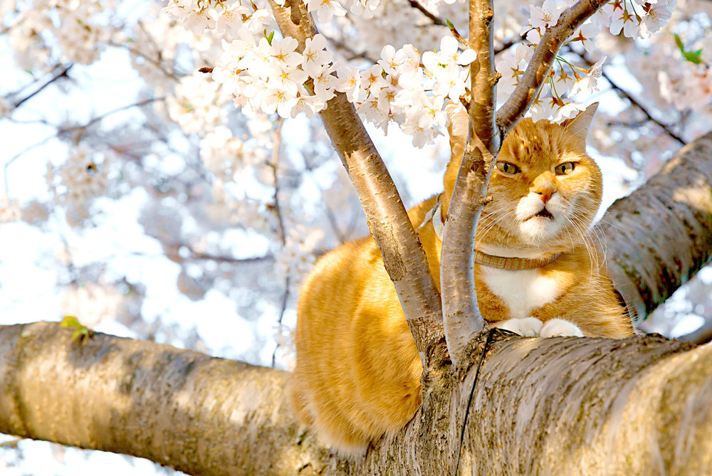 ginger cat - tree branch - flower - blossom - sakura - pink