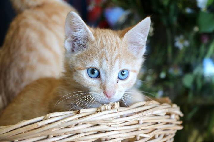 ginger kitten with blue eyes - cat cafe - Adelaide - Paws & Claws Adoptions - rescue cats - adopt cat - Australia
