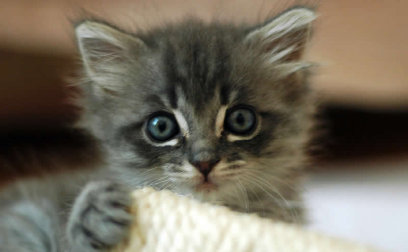 Grey surprised kitten with big eyes