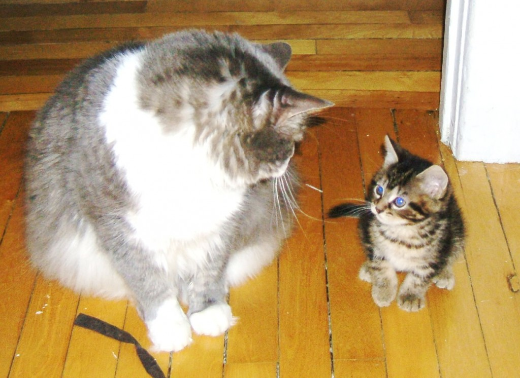 How to introduce cats to each other - adult cat and kitten