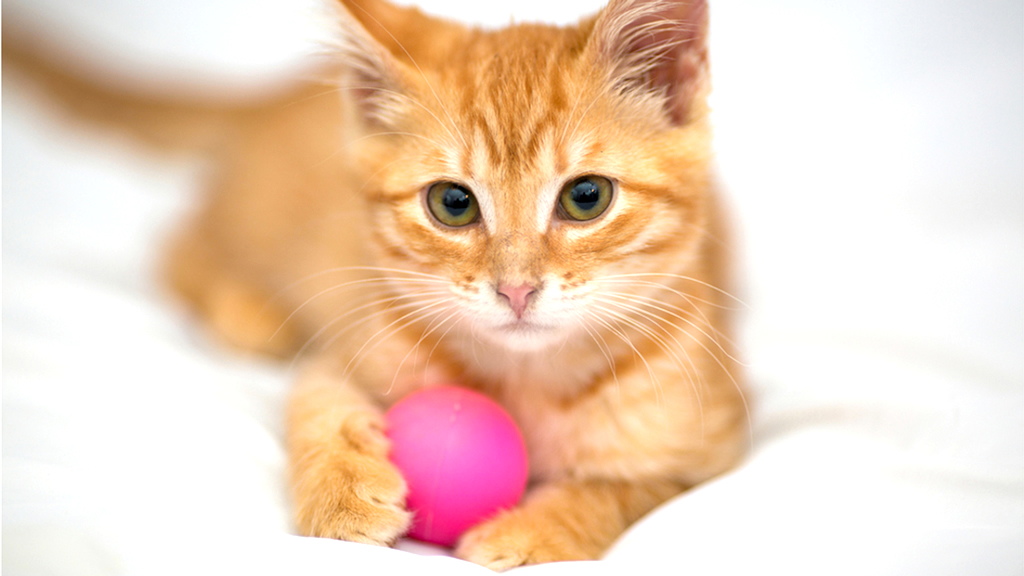 Cute Ginger Kitten Plays with Pink Ball