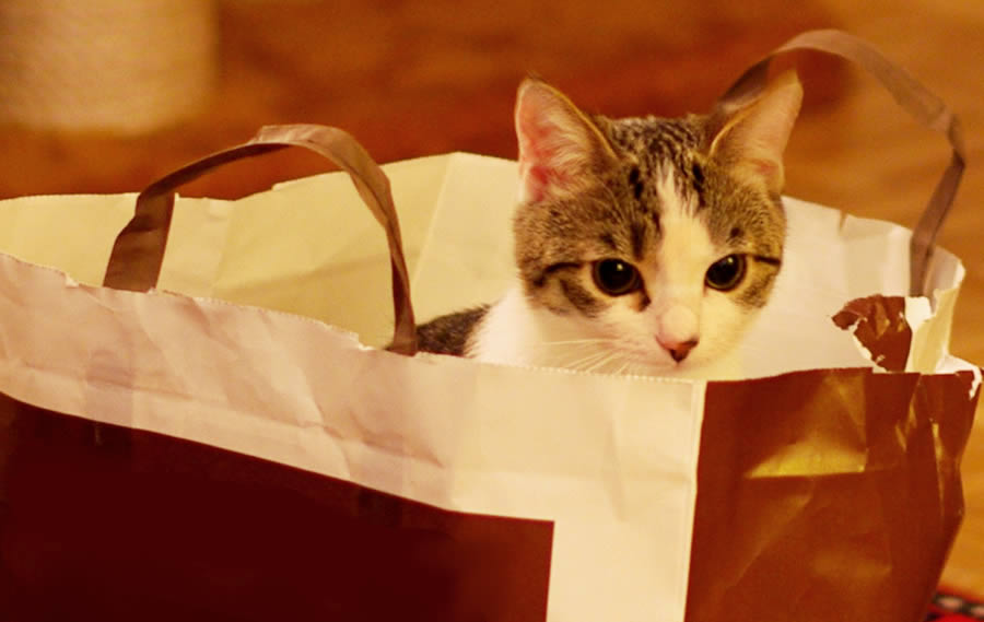 Kitten is sitting in a paper bag and is hiding | Ozzi Cat - Australian National Cat Magazine