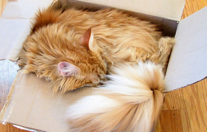 Maine coon cat - orange cat in a box