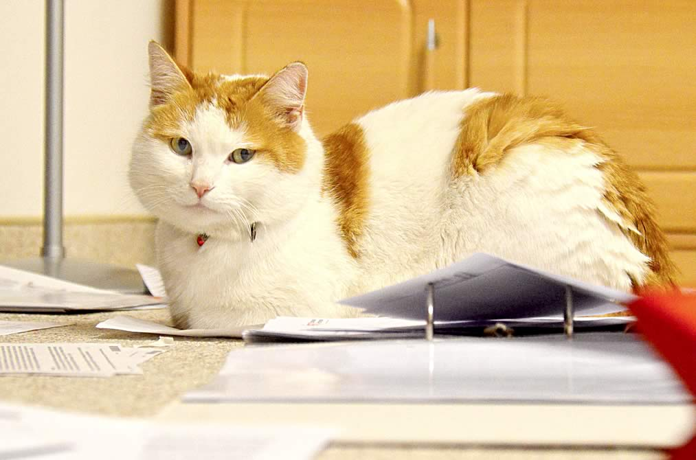Ginger-white office cat sits on paper documents
