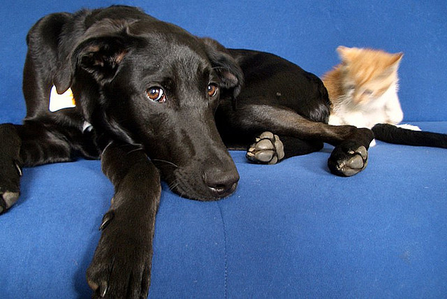 Orange cat and labrador dog - Leon and Rocky